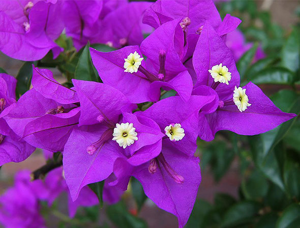 flowers-bougainvillea_16816